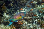 54_Amner_parrotfish_(Scarus_rubroviolaceus)_in coral_reef_at_Barren_Island_(Lenz_Gunther)