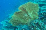 79_Gorgonian_fan-Subergorgia_sp_(Riesengorgonie)_Hagrandhoo_North-Gaafu