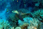 81_Hawsbill_seaturtle_looking_at_us-Eretmochelys_imbricata_(Echte_Karettschildkroete)-Hagrandhoo_North-Gaafu