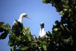 05_red-footed_booby_(Sula_sula)_preparing_to_mate