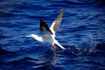 09_red-footed_booby_taking_off-Sula_sula