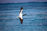 11_red-footed_booby_over ocean-Sula_sula