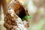 06_Phelsuma_grandis_looking_out_of_his_hole