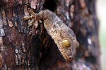 08_Wood_gecko_looking_out_of_his_hole