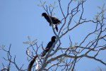 04_Greater_vasa_parrots_from_the_side