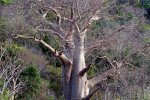 12_A_double_Baobab_tree