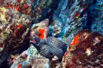 05_Lots_of_Whitespot_Morays_sitting_around-Muraena_pavonina_(Weissfleck_Muraene)