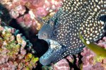 06_Close_up_of_Whitespot_Moray-Muraena_pavonina_(Weissfleck_Muraene)