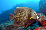 09_Beautiful_French_Angelfish-Pomacanthus_paru_(Franzosen-Kaiserfisch)