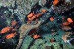 13_Goldentail_Moray_swimming_between_Blackbar_Soldierfish-Myripristis_jacobus_(Jacobus-Soldatenfisch)