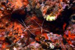 17_Scarlet_Cleaner_Shrimp_waiting_for_customers2-Lysmata_amboinensis_(Weissband-Putzergarnele)