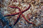 26_Probably_a_longarmed_Seastar_Chaetaster_longipes_(Langarmiger_Seestern)