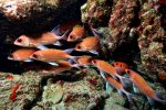 34_Squirrelfish-Holocentrus_ascensionis_(Gemeiner_Husar)