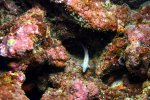 37_The_in_Ascension_endemic-White_Hawkfish-Amblycirrhitus_earnshawi_(Weisser_Bueschelbarsch)
