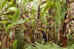 39_Wild_bananas_forest_(Musa_sp)_at_the_top