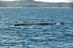 04_The_humpback_whales_come_here_to_give_births_(Las_Perlas-Schlossbermartin)
