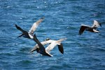 26_Pelicans_flying_close_to_the_coast_in_Boca_Chica