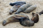 12_A_group_of_sea_lion_cows_and_their_pups