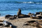 15_The_male_boss_of_the_sea_lion_colony_also_called_beach_master