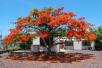 30_Beautiful_acazia_tree_in_town