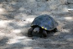 49_A_five_year_old_San_Cristobal_tortoise_before_being_reintroduced_into_the_wild