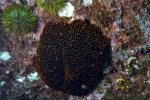 04_Seastar_(Heliaster_sp)_and_endemic_green_sea_urchin_(Lytechinus_semituberculatus)(Tijeretas)