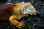 09_Land_Iguanas_are_much_more_colorful_than_the_marine_ones