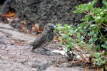 20_Large_Ground_Finch_(Geospiza_magnirostris-Groß-Grundfink)_with_his_large_beak
