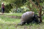 25_Mating_time_for_the_Galapagos_Giant_Tortoises