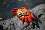 61_The_colorful_Sally_Lightfoot_Crabs_(Grapsus_grapsus-Quadratkrabbe)_can_be_found_everywhere