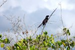09_Smooth-billed_Ani_(Crotophaga_ani-Glattschnabelani)_is_an_introduced_species_which_is_monitored_by_the_National_Park