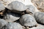 11_Four_year_old_Giant_Galapagos_Tortoises_befor_they_are_released_into_the_wild