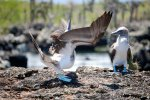 44_Courtship_display_of_a_male_Booby