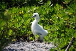 22_Old_chick_of_Masked_Booby_waiting_for_his_parents_and_food