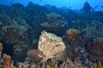 10_Grouper_finding_a_spot_to_sleep_in_the_reef