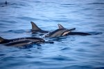 37_Long-snouted_Spinner_Dolphins_(Stenella_longirostris)_resting_around_the_boat_at_our_anchorage