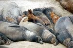 10_Sealions_use_the_warm_and_soft_body_of_the_seaelefants_as_their_sleeping_place