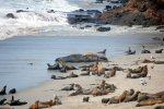 15_One_huge_male_elephant_seal_lieing_among_the_sealions