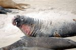 16_You_can_easily_see_why_they_are_called_elephant_seals