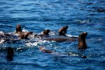 04_Young_Californian_Sealions_playing_around_Pakia_tea_(Zalophus_californianus-Kalifornischer_Seelöwe)