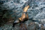 35_Sadly_you_also_see_sealions_entangled_in_fishing_gear