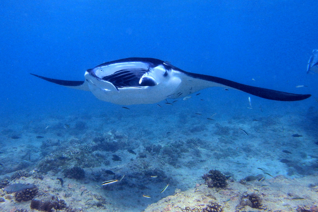 Manta with open mouth