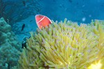 Pink Anemonefish (Amphiprion perideraion) in Magnificent Anemone (Heteractis magnifica)